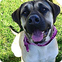 Adopt A Pet :: Loki gentle giant family dog - Sacramento, CA