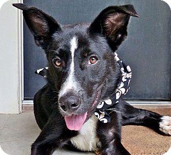 Border Collie/Labrador Retriever Mix Dog for adoption in Baton Rouge, Louisiana - Leonard