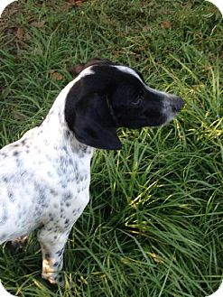 English Pointer Dog for adoption in New Smyrna beach, Florida - Liam