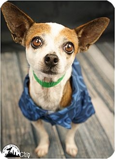 Chihuahua/Terrier (Unknown Type, Small) Mix Dog for adoption in Phoenix, Arizona - Chip