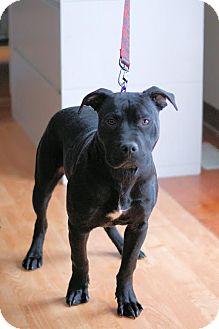 Labrador Retriever/American Bulldog Mix Puppy for adoption in Midland, Michigan - Maceo