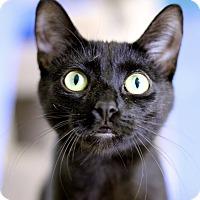 Adopt A Pet :: Duchess von Kinkytail - Chicago, IL