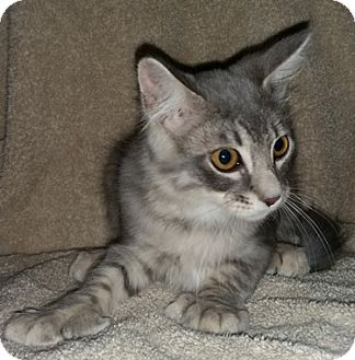 Domestic Mediumhair Kitten for adoption in North Highlands, California - Cordelia2