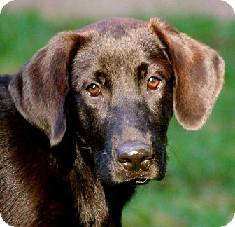 Labrador Retriever Mix Puppy for adoption in Cooperstown, New York - Krista