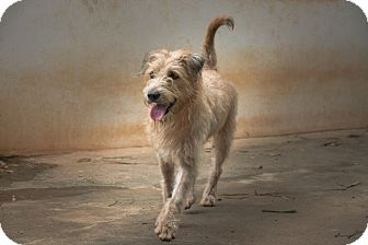 Airedale Terrier Mix Dog for adoption in Long Beach, New York - Olivia
