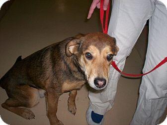 Shepherd (Unknown Type) Mix Dog for adoption in Newburgh, Indiana - Jack