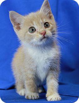 Domestic Shorthair Kitten for adoption in Winston-Salem, North Carolina - Pumpkin