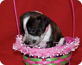 Labrador Retriever Mix Puppy for adoption in Portola, California - Blossom