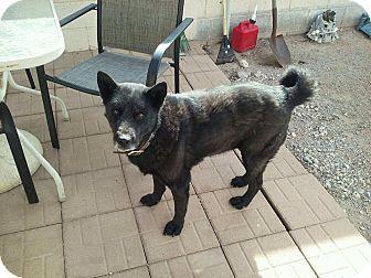 Akita/Husky Mix Dog for adoption in Las Vegas, Nevada - Makita