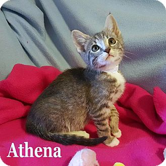Domestic Shorthair Kitten for adoption in Bentonville, Arkansas - Athena