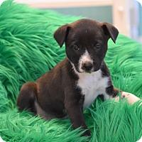 Adopt A Pet :: Packer - South Dennis, MA