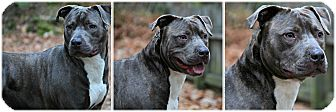 American Staffordshire Terrier Mix Dog for adoption in Forked River, New Jersey - Bugle