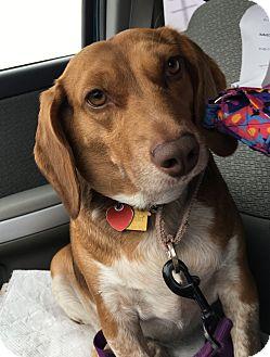 Beagle Mix Dog for adoption in Whiting, Indiana - Momma Marge