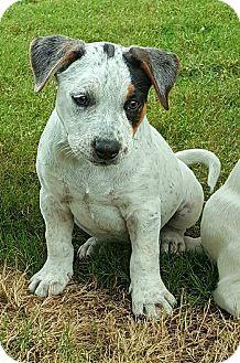American Bulldog/Basset Hound Mix Puppy for adoption in Plano, Texas - Rocco