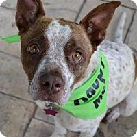 Adopt A Pet :: Gentry - Littleton, CO