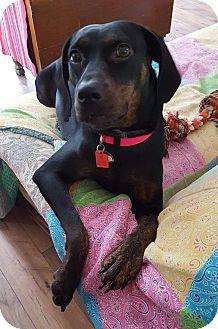 Plott Hound Mix Dog for adoption in Silverdale, Washington - Cate