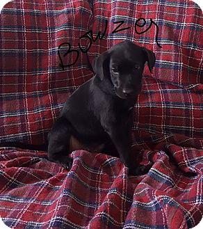 Labrador Retriever Mix Puppy for adoption in Brattleboro, Vermont - Puppy Bowser