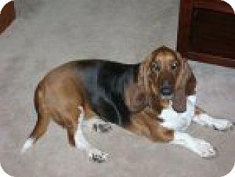 Basset Hound Dog for adoption in Charleston, South Carolina - ~Ref. Joe