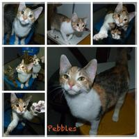 Adopt A Pet :: Pebbles - Meadow Lake, SK