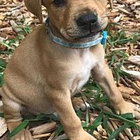 Adopt A Pet :: Baby Anthem - Rockville, MD