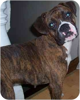 Boxer Dog for adoption in Hamilton, Ontario - Amy