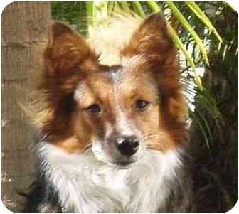 Jack Russell Terrier/Sheltie, Shetland Sheepdog Mix Dog for adoption in San Diego, California - Bekka