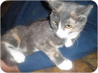 Domestic Shorthair Kitten for adoption in Davis, California - Gracie