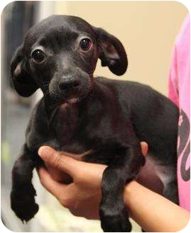 Dachshund/Miniature Pinscher Mix Puppy for adoption in San Pedro, California - Tutu