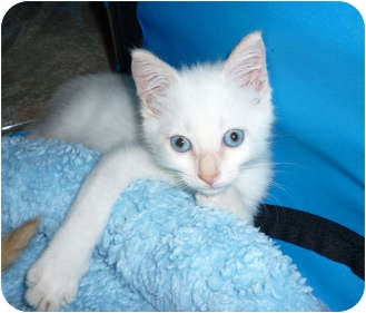Siamese Kitten for adoption in Tampa, Florida - Creamsicle