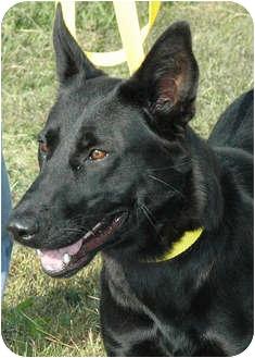 German Shepherd Dog Mix Dog for adoption in Ripley, Tennessee - Shasta  (1493)