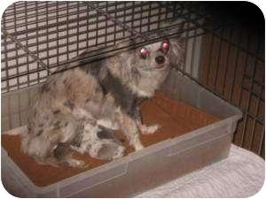 Chihuahua Dog for adoption in Seattle, Washington - Wanda #270