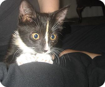 Calico Kitten for adoption in Los Angeles, California - Gillian-urgent