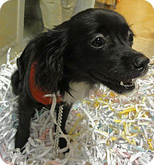 Papillon Mix Dog for adoption in Mt. Prospect, Illinois - Mindi