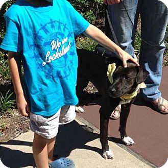 Border Collie Mix Puppy for adoption in Nashville, Tennessee - Remi