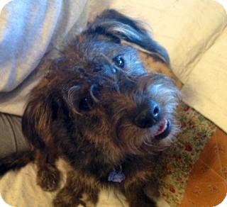 Canaan Dog/Schnauzer (Miniature) Mix Puppy for adoption in ST LOUIS, Missouri - Punky Brewster