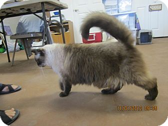 Domestic Longhair Cat for adoption in Bunnell, Florida - Handsome