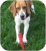 Beagle Dog for adoption in Elk Grove, California - Daisy #2