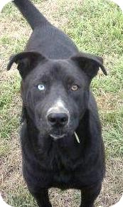 Husky/Labrador Retriever Mix Dog for adoption in Hazlehurst, Georgia - Indigo