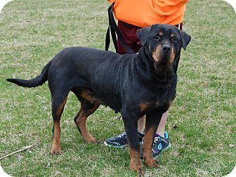 Rottweiler Dog for adoption in North Judson, Indiana - Blackie