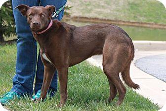 Labrador Retriever/Shepherd (Unknown Type) Mix Dog for adoption in Staunton, Virginia - Koko