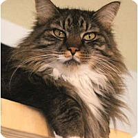 Domestic Mediumhair Cat for adoption in Pensacola, Florida - Cindy
