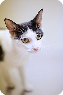 Domestic Shorthair Cat for adoption in Las Vegas, Nevada - Bliss