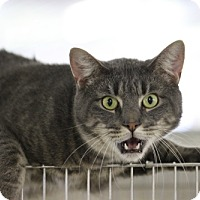 Domestic Shorthair Cat for adoption in East Smithfield, Pennsylvania - Tito