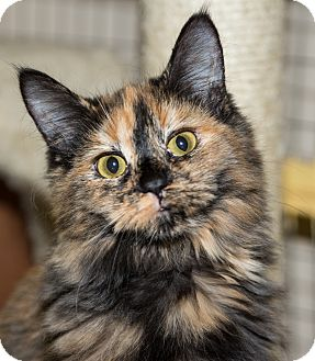 Domestic Longhair Cat for adoption in Seville, Ohio - Carrie