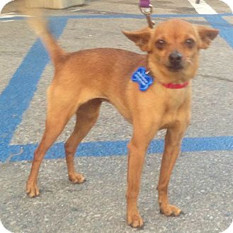 Chihuahua Mix Dog for adoption in Redondo Beach, California - Twinkle