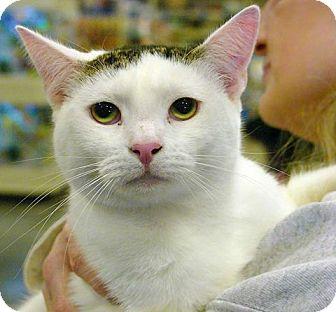 Domestic Shorthair Kitten for adoption in Pittstown, New Jersey - Elliott