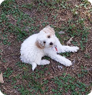 Poodle (Miniature) Puppy for adoption in conroe, Texas - Panda Bear