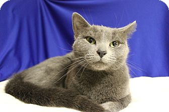 Russian Blue Cat for adoption in Midland, Michigan - Talia - NO FEE