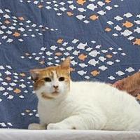 Domestic Shorthair Cat for adoption in Sebastian, Florida - Smokes