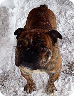 English Bulldog Dog for adoption in Buffalo, New York - Deacon